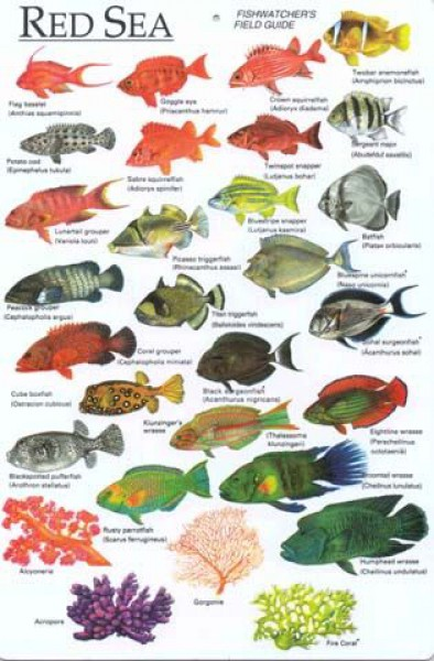 3e6f29e417094e1f629e85a56e9fbdc7--red-sea-egypt-fish-chart.jpg